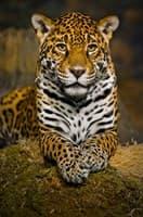 Обои PHOTO DECOR Картина на холсте Леопард 433 60*40